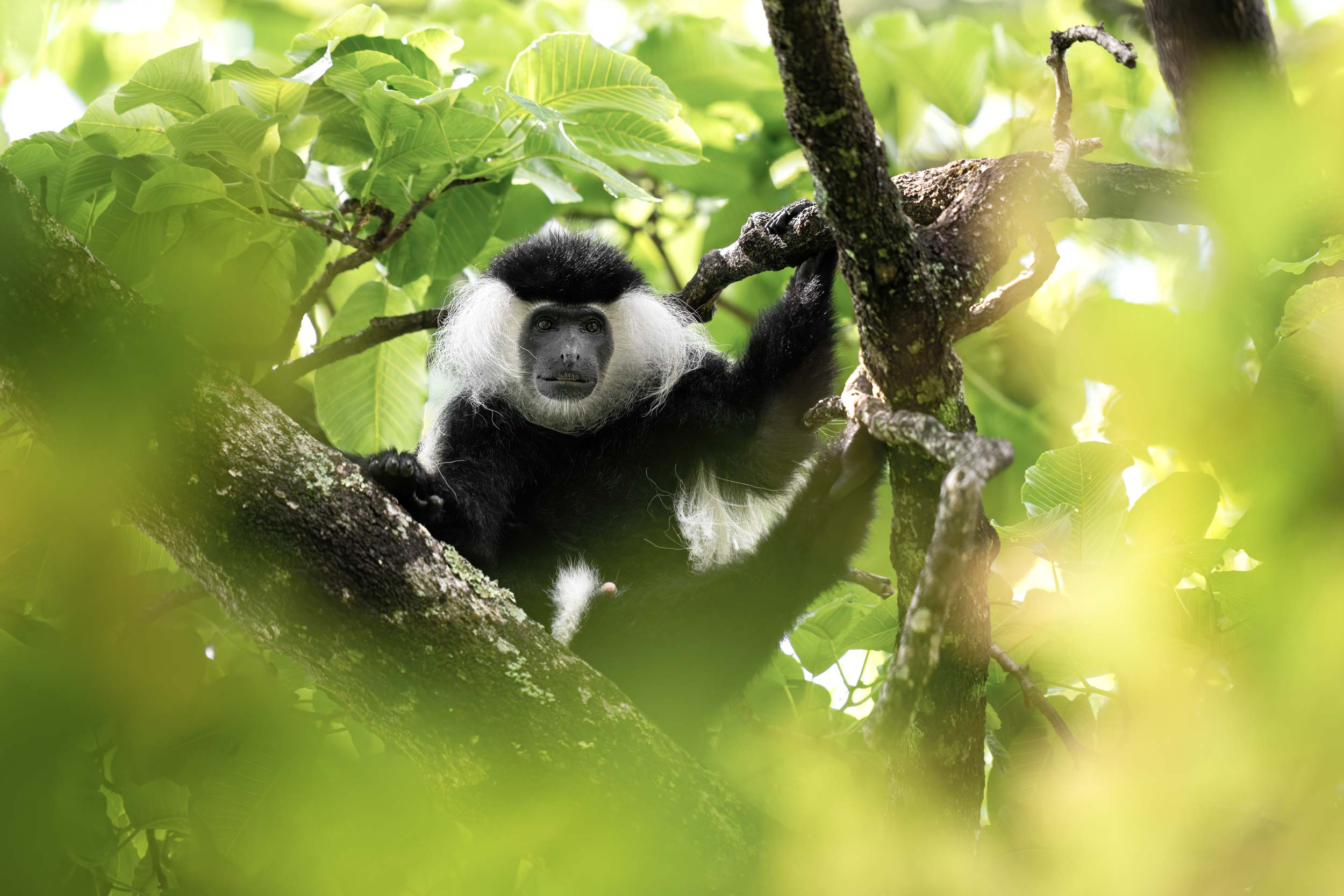 Angolan colobus monkey photographed in the Udzungwa mountains national park in Tanzania
