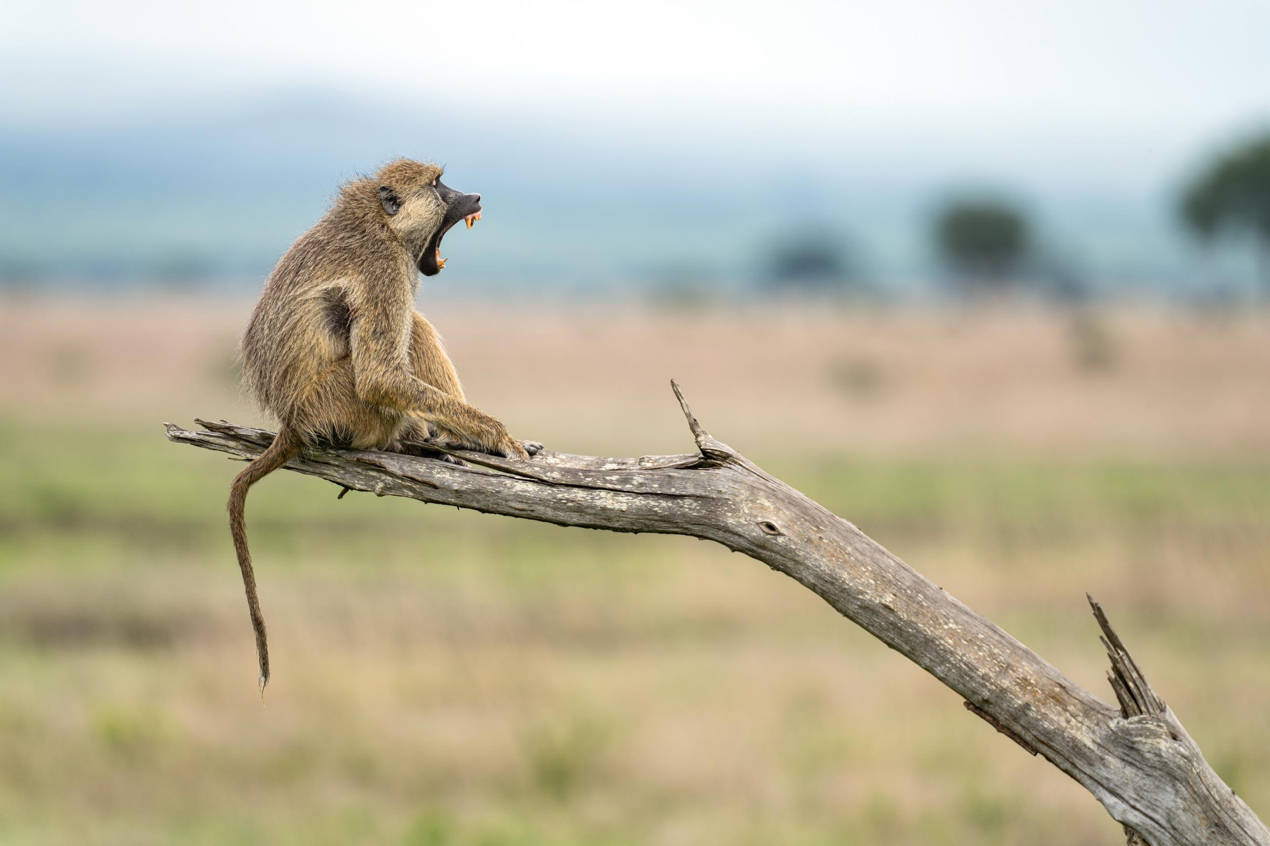 Baboon photographed in Mikumi nationalpark, Tanzania