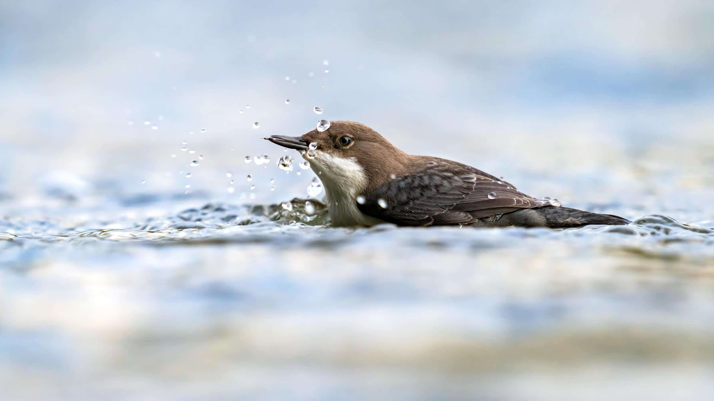 Dipper photographed in Lucerne, Switzerland
