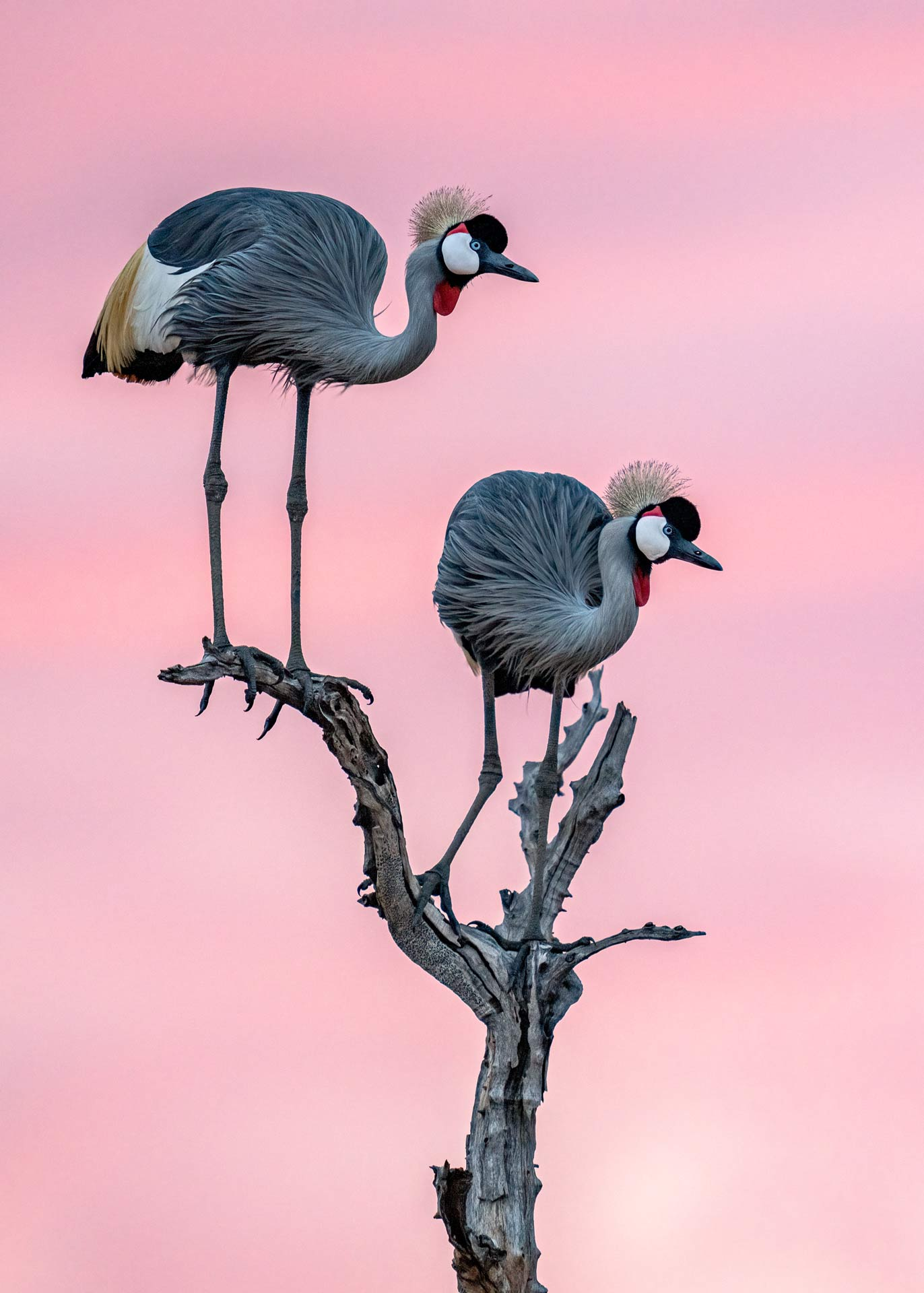 Crown cranes photographed in Ruaha nationalpark, Tanzania