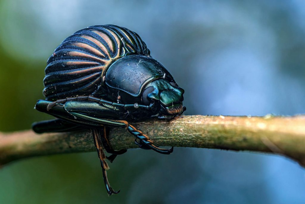 Darkling beetle photographed on the Osa peninsula in Costa Rica