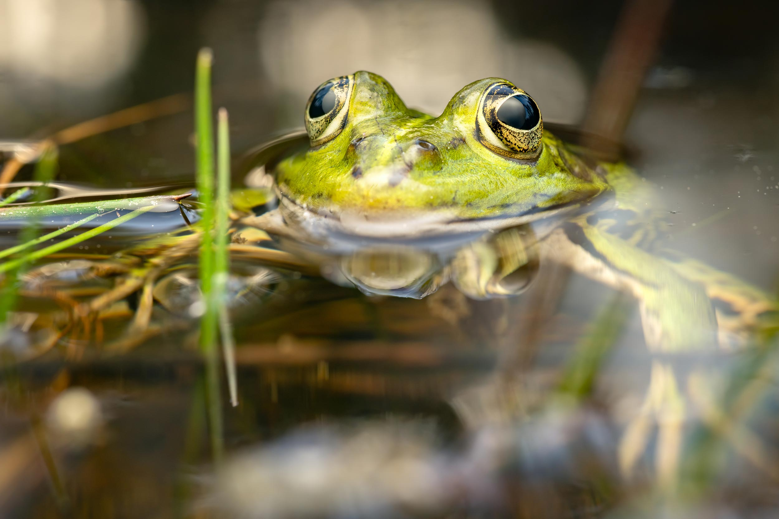 Frog photographed in Lucerne, Switzerland