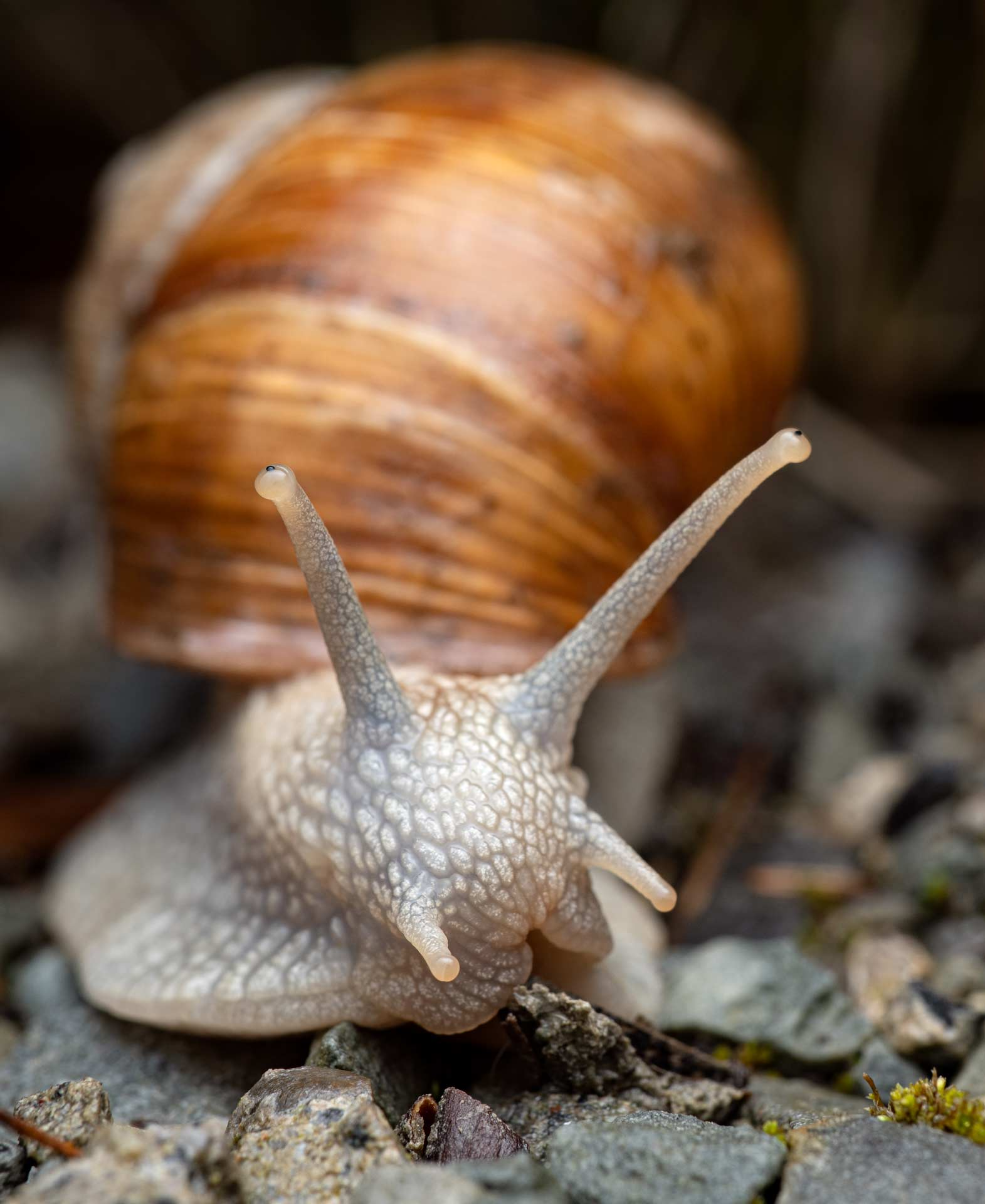 Roman snail photographed in Lucerne, Switzerland
