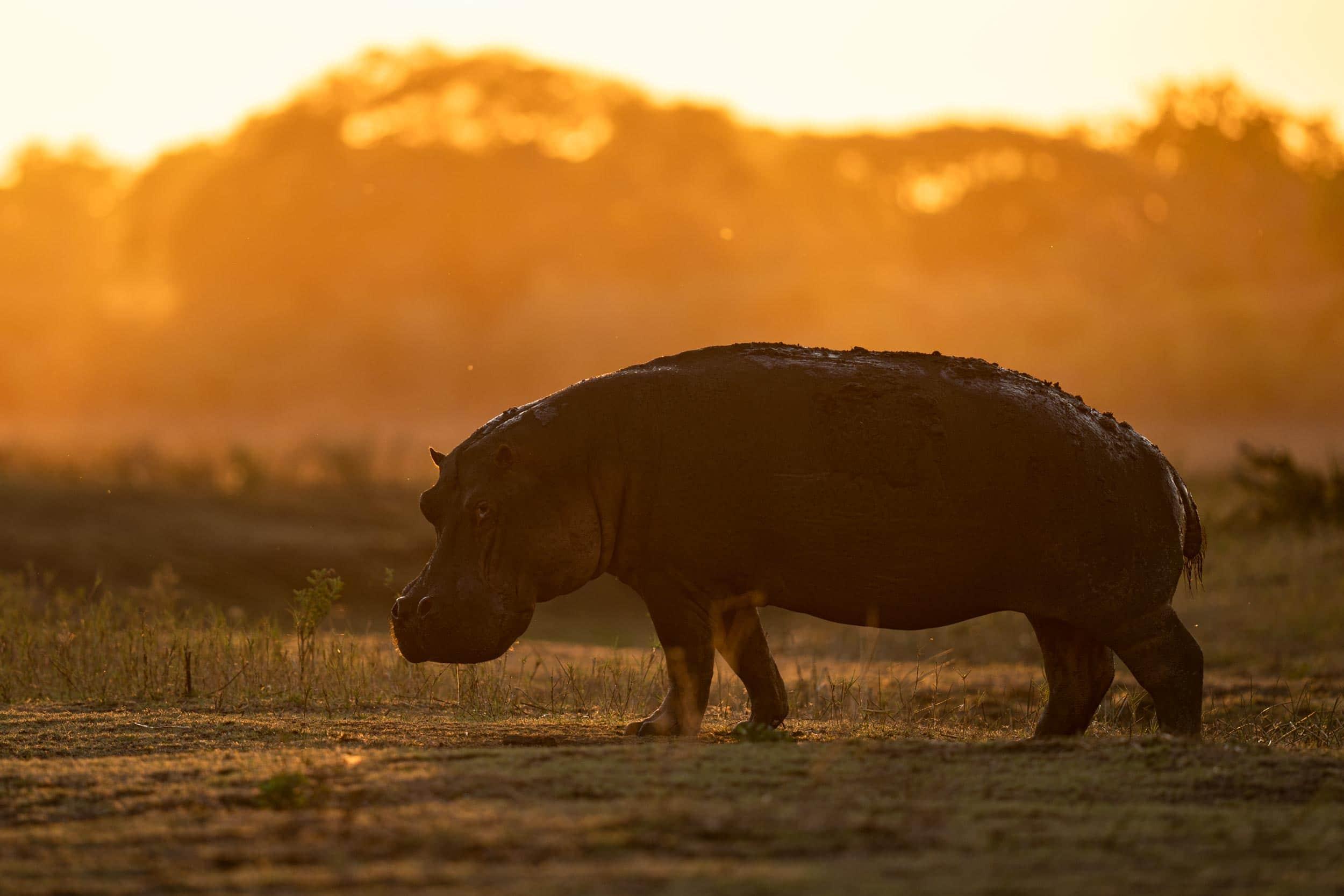 Hippopotamus photographed in Katavi nationalpark in Tanzania