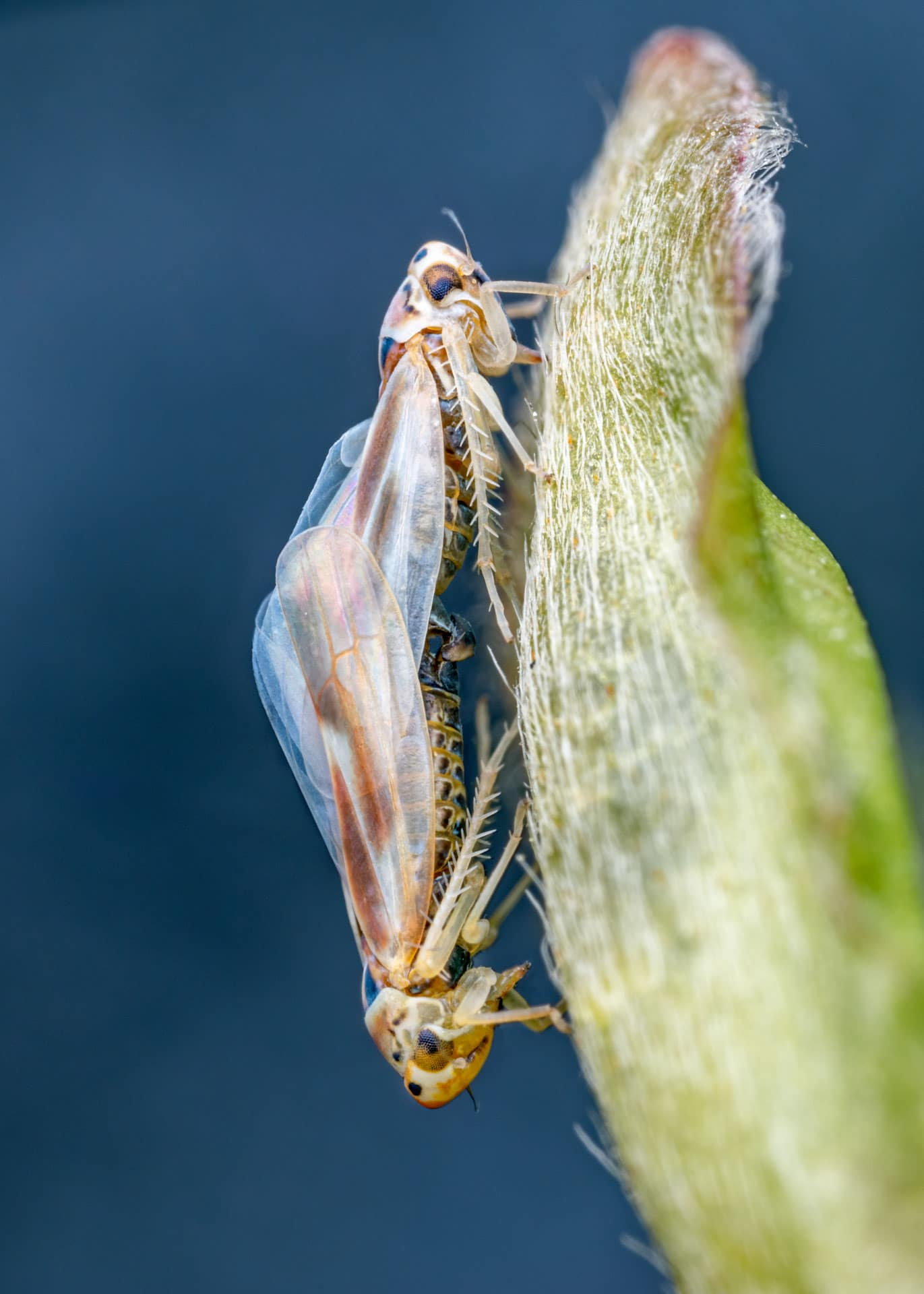 Leafhoppers photographed in Lucerne, Switzerland