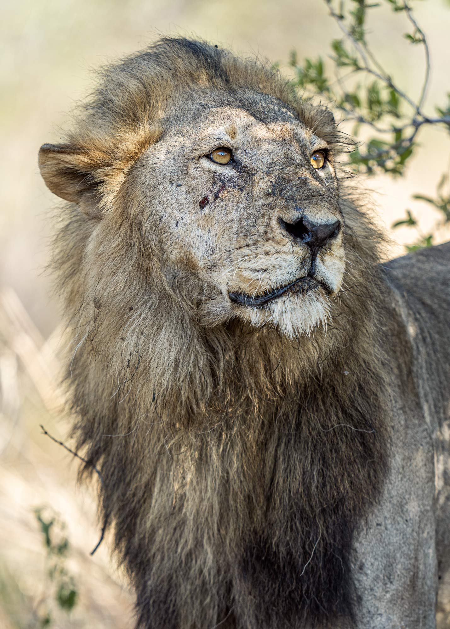 Lion photographed in Katavi nationalpark in Tanzania