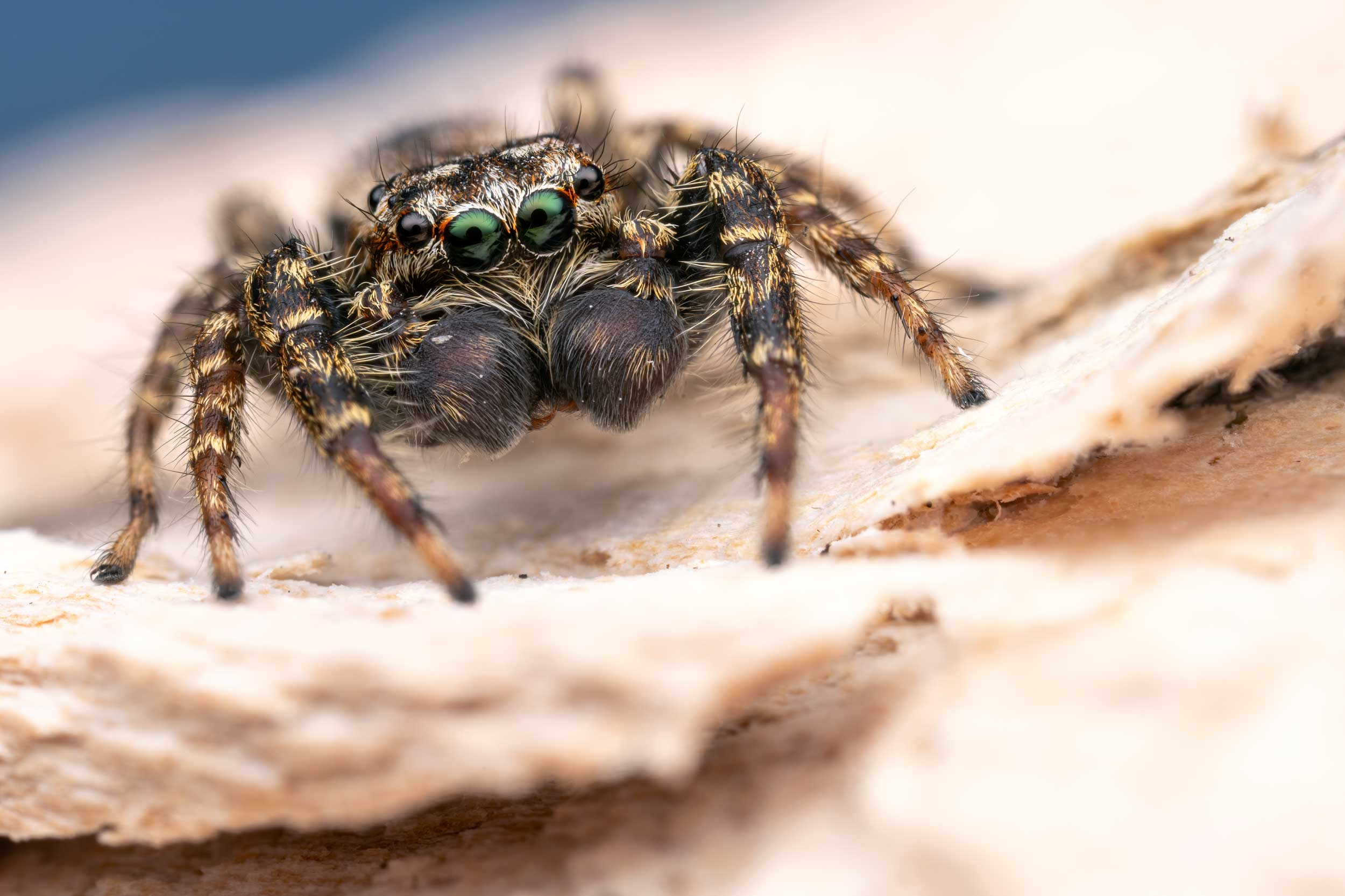 Jumping spider photographed in Lucerne, Switzerland