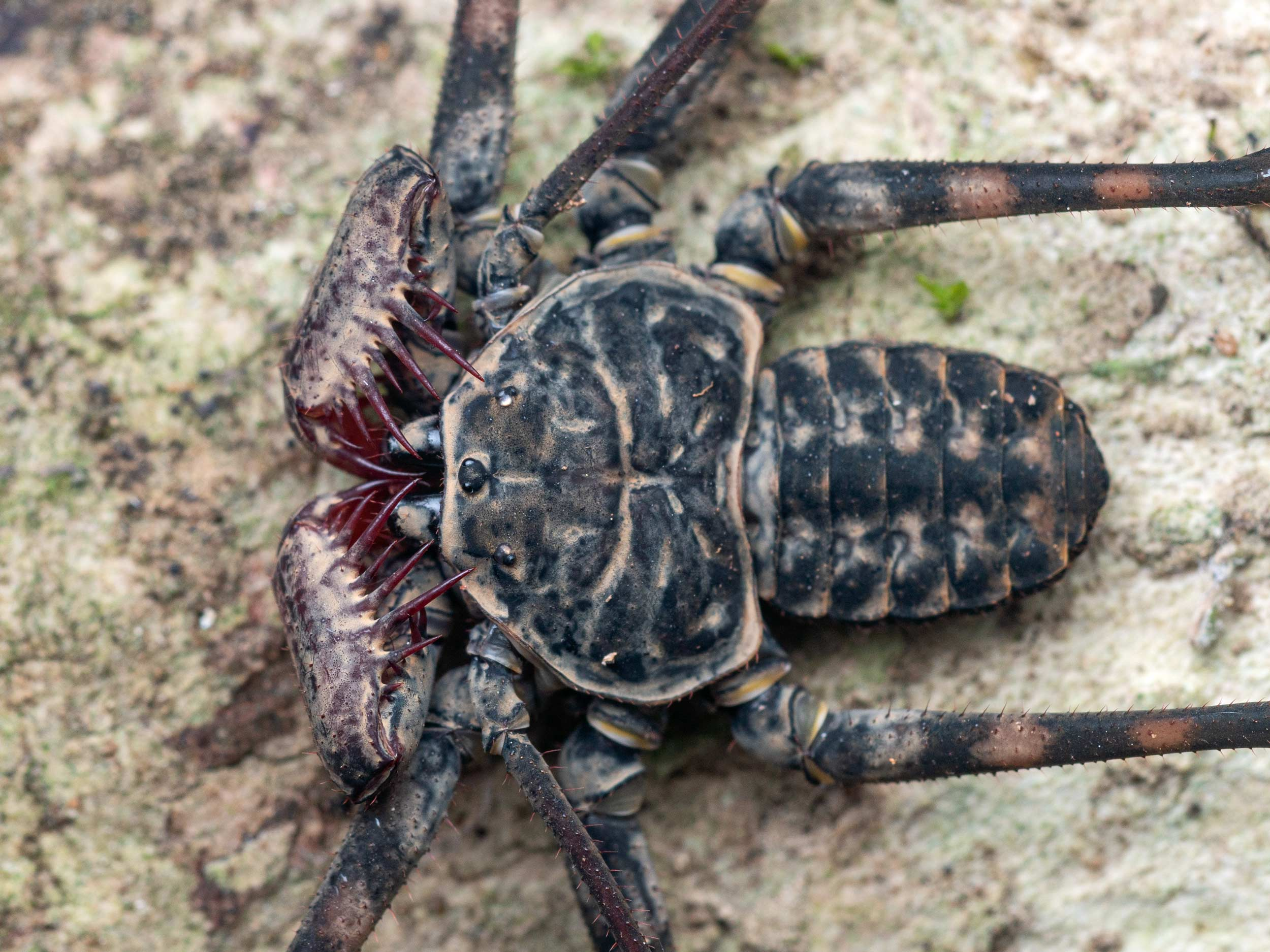 Whip spider photographed on the Osa peninsula in Costa Rica