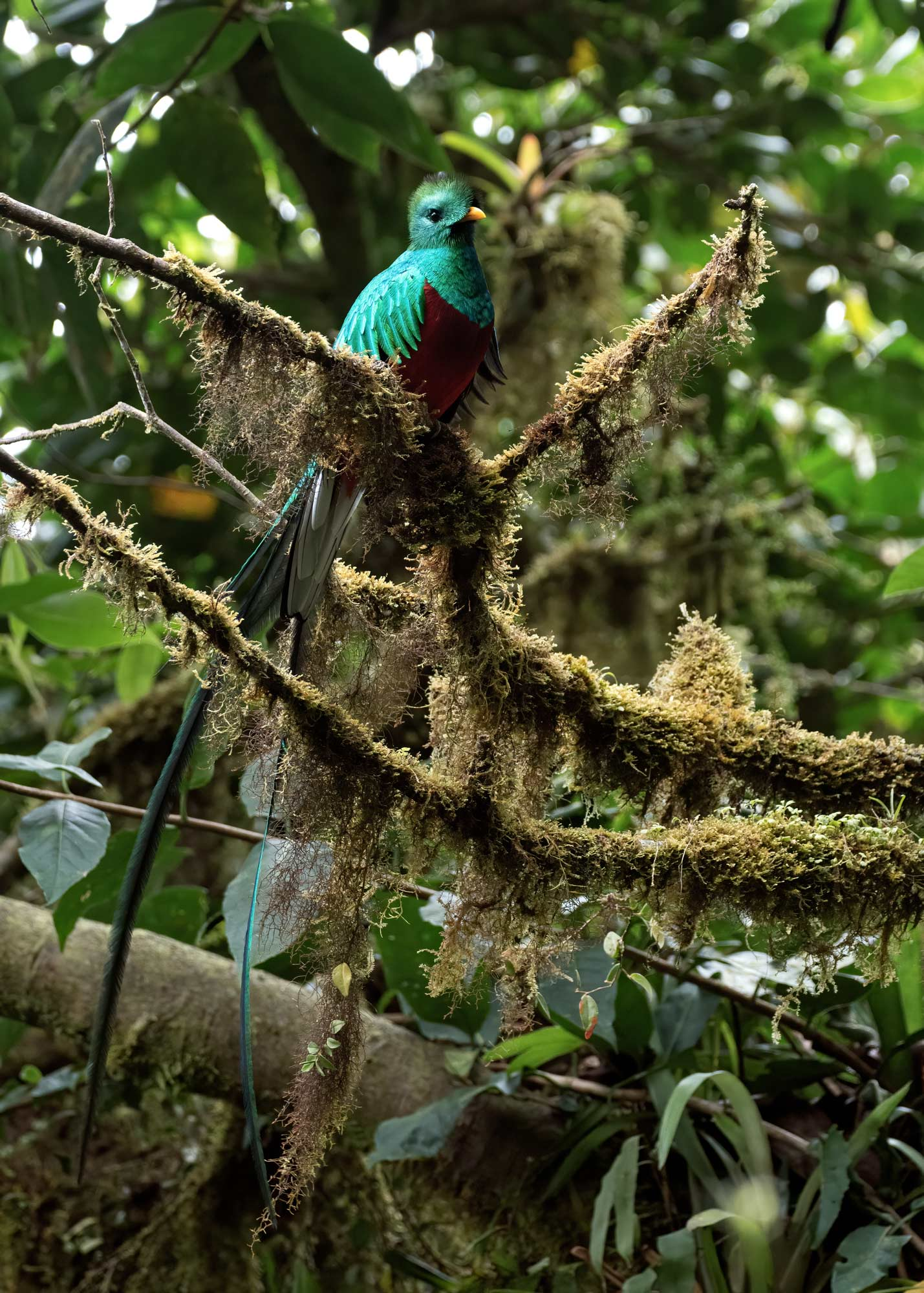 Quetzal photographed in the cloud forest of Monteverde in Costa Rica