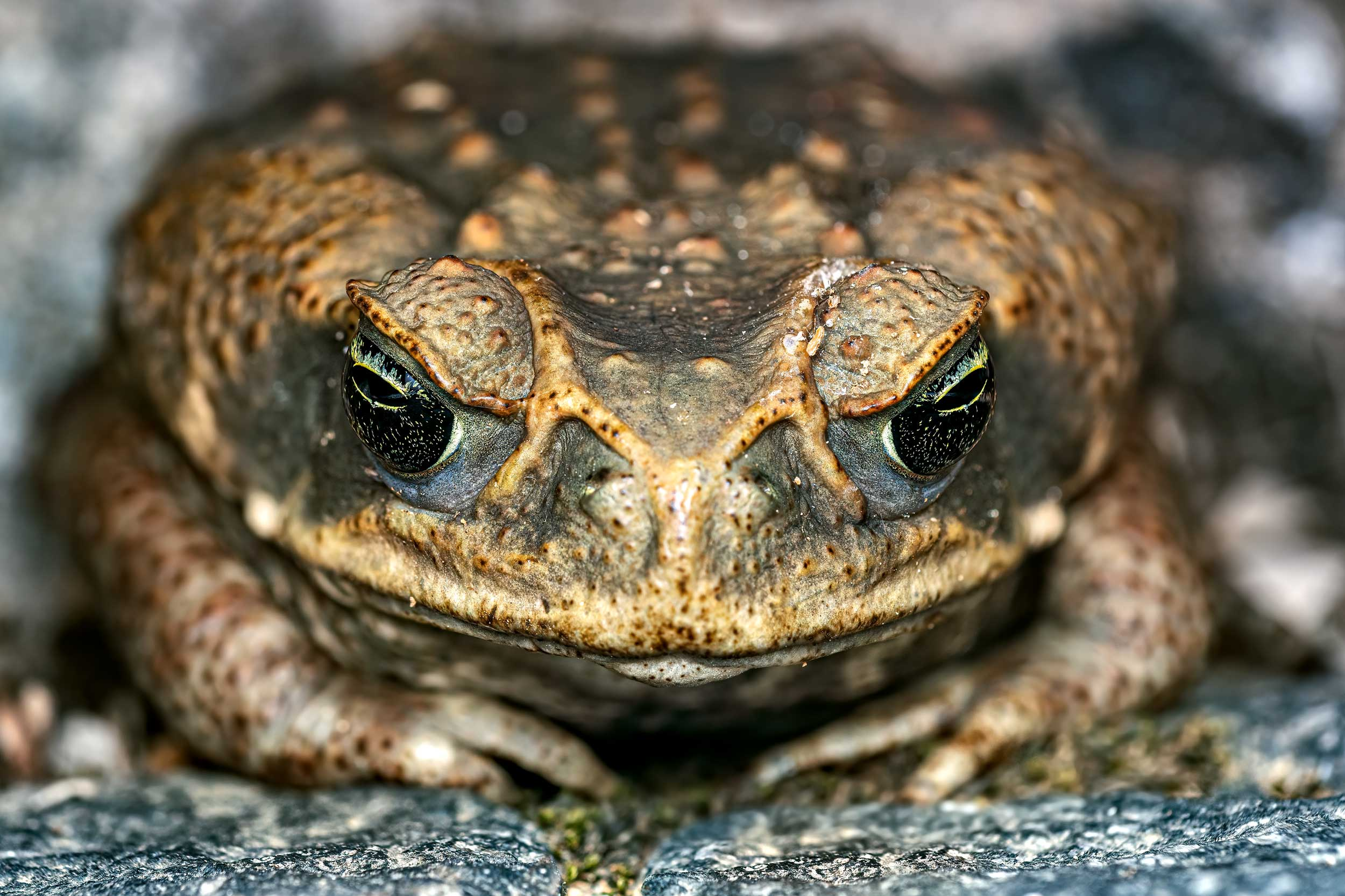 Cane toad photographed on the Osa peninsula in Costa Rica
