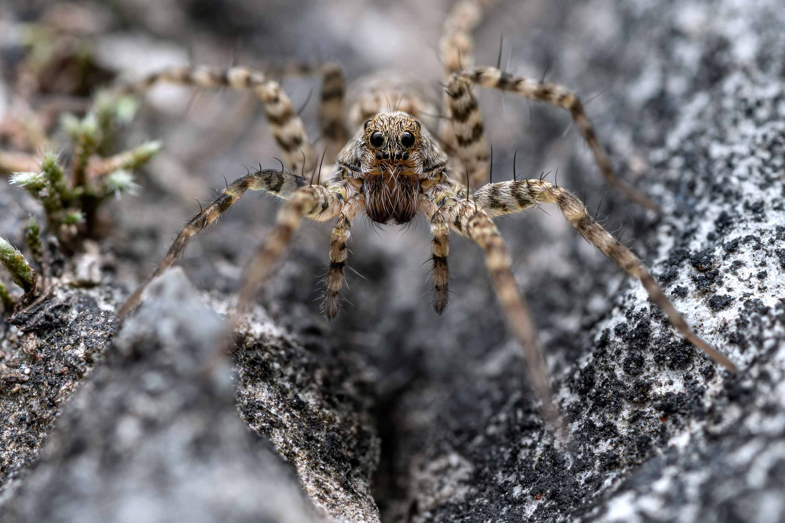 Wolfspider photographed in Lucerne, Switzerland